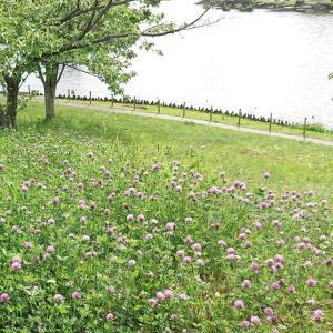 クローバーの花畑と庭の草花