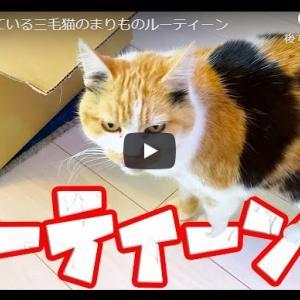 猫「広くて冒険しがいのある家だにゃんzzZ」|ほぼ寝ている三毛猫のまりものルーティーン