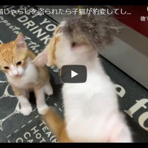 本気の狩りに目覚めた子猫がちょっと怖い 子猫に猫じゃらしを盗られたら子猫が豹変してしまった