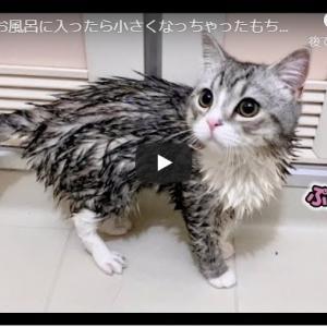 初めてのお風呂は主も一緒にずぶぬれ! 初めてお風呂に入ったら小さくなっちゃったもち猫…笑!