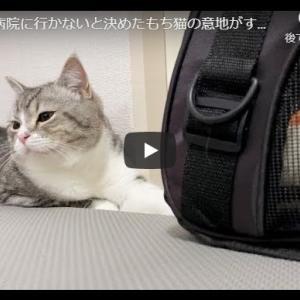 猫「病院には行かぬ!行かぬぞ!」|今日は病院に行かないと決めたもち猫の意地がすごいです…汗