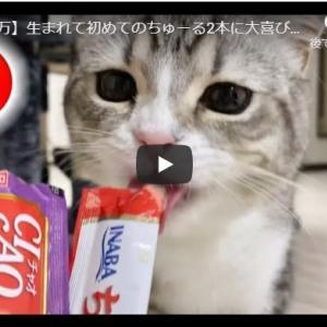 お祝いちゅーるは格別!|【祝20万】生まれて初めてのちゅーる2本に大喜びなもち猫!
