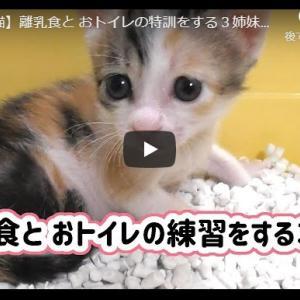 赤ちゃん猫が初めてのトイトレ!|【保護猫】離乳食と おトイレの特訓をする3姉妹【子猫】