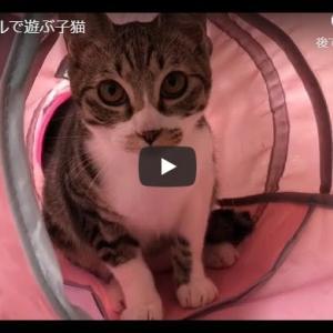 子猫が一生懸命遊んでいる様子を見守る動画|トンネルで遊ぶ子猫