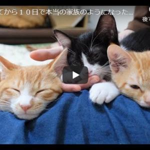 猫ハーレム|出会ってから10日で本当の家族のようになった保護猫たち【保護子猫】
