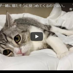 白いお布団にもふもふのもふ猫|もち猫が一緒に寝たそうに見つめてくるので添い寝することにします…