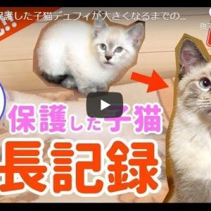 子猫がどんどんスクスク成長ダイジェスト動画|田舎で保護した子猫デュフィが大きくなるまでの成長記録【去勢&体重5倍】