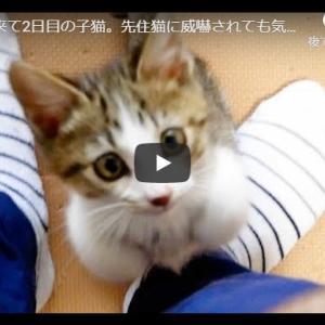 リボンに翻弄される天真爛漫な子猫|うちに来て2日目の子猫。先住猫に威嚇されても気にせず元気に遊んでます