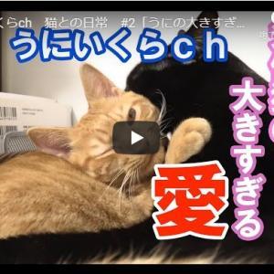 愛情ペロペロがとまらない猫! うにいくらch 猫との日常 #2「うにの大きすぎる愛情」