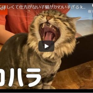 かまちょ猫|かまってほしくて仕方がない子猫がかわいすぎる kitten loves sitting on the pc too much