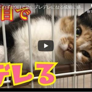 安心→デレデレな猫が可愛いし嬉しい|家に来てわずか3日で急にデレデレになる成猫に感動!