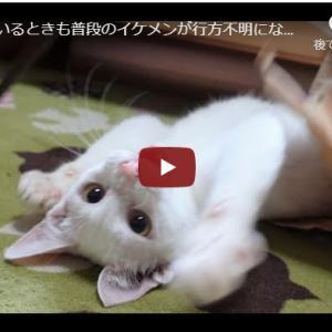 イケ猫の生態を追いかける|遊んでいるときも普段のイケメンが行方不明になってしまう猫【保護猫】