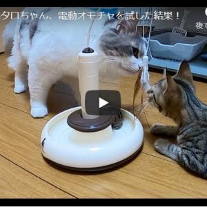 ぐるんぐるん回る玩具に挑戦する猫ズ!|ジン君&タロちゃん、電動オモチャを試した結果!