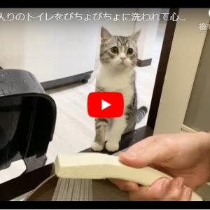 大丈夫?って顔が可愛すぎるもちもち猫|お気に入りのトイレをびちょびちょに洗われて心配になっちゃう猫…笑