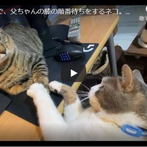 父ちゃんの膝が世界一!な猫ズの攻防が可愛い|机の上で、父ちゃんの膝の順番待ちをするネコ。A cat waiting for his dad's knees on the desk.