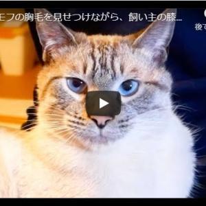 本気のグルーミングを見せつける猫|モッフモフの胸毛を見せつけながら、飼い主の膝の上でひたすらグルーミングし続ける猫