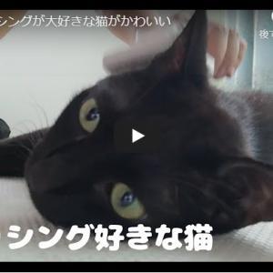 ブラッシングで主さんを見上げ可愛い黒猫|ブラッシングが大好きな猫がかわいい