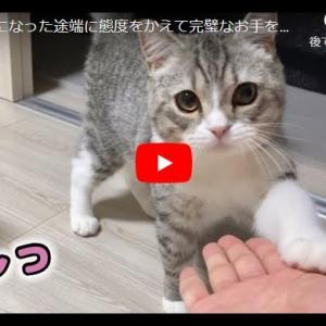 おやつはマジ顔でキメたい猫 おやつになった途端に態度をかえて完璧なお手をキメる猫…笑!