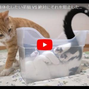 【激しい心理戦(?)】猫同士の液体化を掛けた戦いが今始まる!|絶対に液体化したい弟猫 VS 絶対にそれを阻止したい兄猫【保護猫】