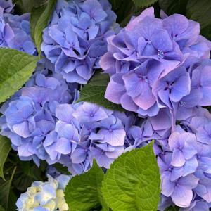 散歩、、、紫陽花