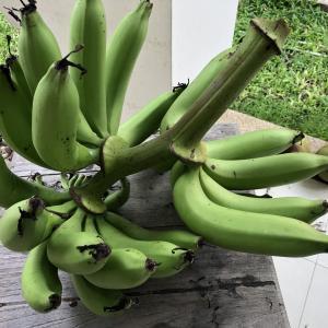 庭のバナナを切ったよ!(モズモズのYouTube動画)