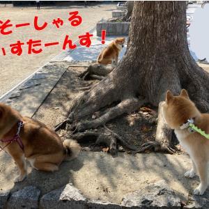 柴犬の集い☆もう1人のお友達柴ちゃん☆