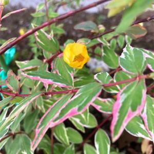 ヒペリカム トリカラーの花が咲きました!