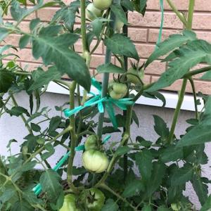 今年のトマトは美味しい?もう鈴なりです!