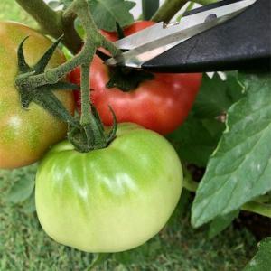 トマトとキュウリの収穫!