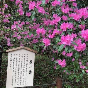 「春一番」という花