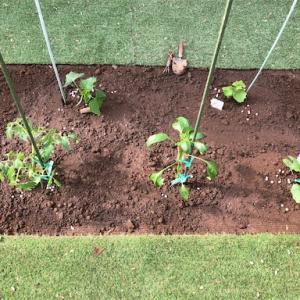 夏野菜の苗を植えました