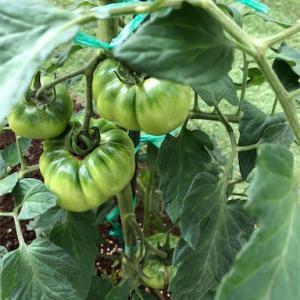 庭に出来た野菜畑 トマト大きくなりました!
