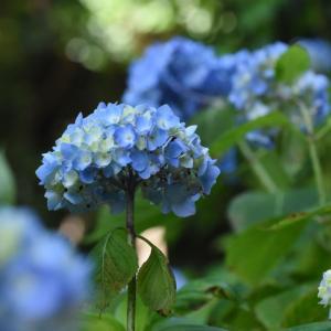 万博公園の楽しみ」⇒「紫陽花」が見ごろ