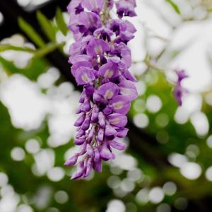 万博公園の楽しみ」⇒「ふじ」の花