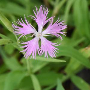 万博公園の楽しみ」⇒「カワラナデシコ」という花です