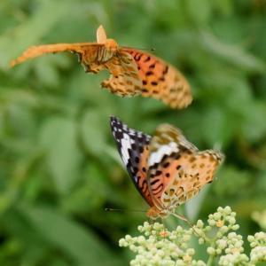 万博公園の楽しみ」⇒「ツマグロヒョウモン」蝶