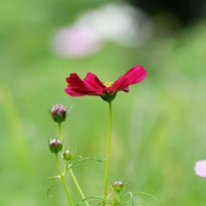 万博公園の楽しみ」⇒「コスモス」の開花