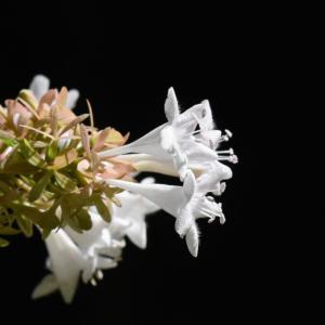万博公園の楽しみ」⇒「アベリア」という花