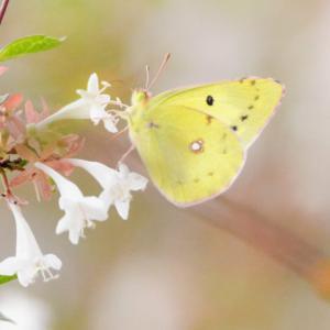 万博公園の楽しみ」⇒花の妖精「モンキチョウ」