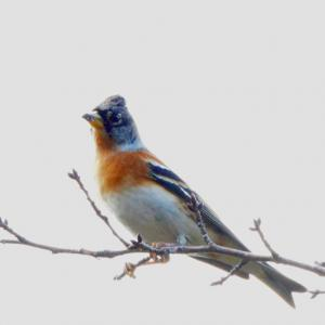 万博公園の楽しみ」⇒冬の鳥「アトリ」