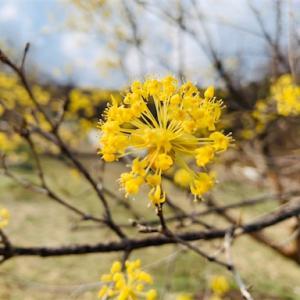 【利川・イチョン】サンスユマウル(이천산수유마을)で春の訪れを感じた一日。