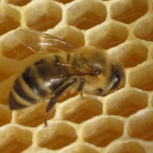 はちみつやミツバチはどのような農薬で汚染されているのか?