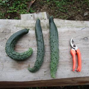 きゅうり、初収穫