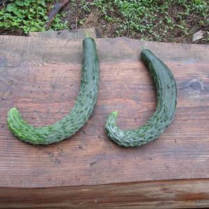 きゅうり収穫 その2