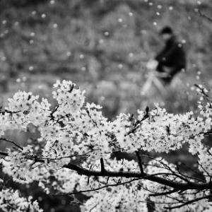 桜のように生きてったらいい