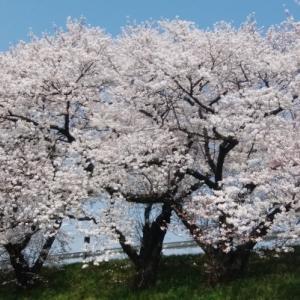 桜 頑張れ!