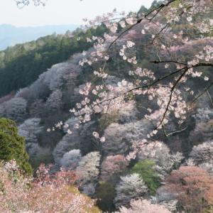 桜だより 花吹雪の吉野山 2021/4/2