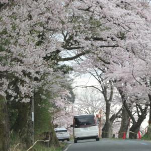 桜だより ドライブスルーの海津大崎 2021/4/3