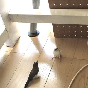 シオコショウが放鳥できるようになるまで