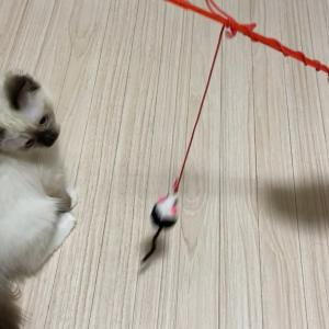 安物オモチャとテンション上がってきた猫